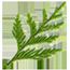 An image of a cedar frond