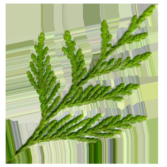 An image of a green cedar frond